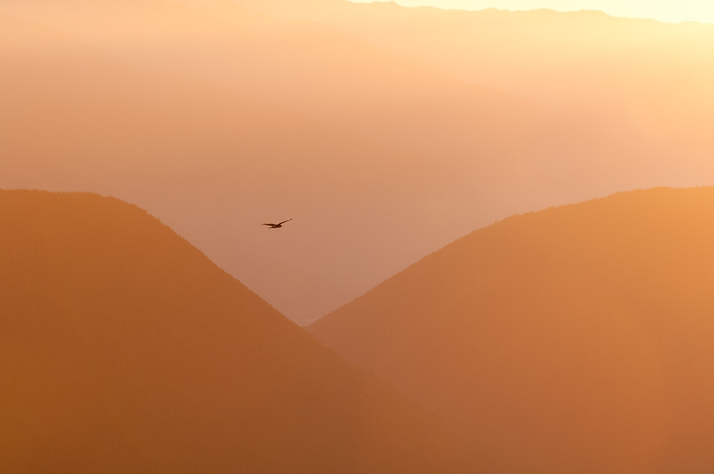 Northern harrier (Circus cyaneus) soaring above the Lillian River Valley, evening light, August, Elwha River watershed, Olympic National Park, Washington, USA