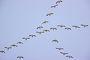 Snow geese (Chen caerulescens) fly in formation over the Skagit Valley in Washington state. Geese fly in a V formation, which allows them to conserve energy by taking advantage of the rising currents produced by the goose flying in front of them. They switch positions to give other geese opportunities to fly in the wake.