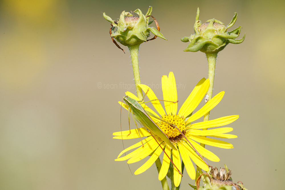 Katydid on sunflower, Blackland Prairie, Mary Talbot Prairie, owned by Native Prairies Association fo Texas (NPAT), Texarkana, Texas, Farmersville, Texas, USA. Need identification