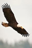 An immature Bald Eagle (Haliaeetus leucocephalus) (Halietus leucocephalus) soars  along Hood Canal in Puget Sound, Washington state, USA