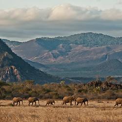 African elephants (Loxodonta Africana)