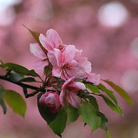 """""""Crabapple Blossoms"""""""