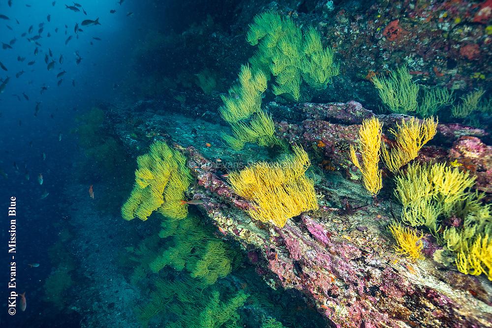 Colorful Sea Fans - Cousins Rock Galapagos National Park