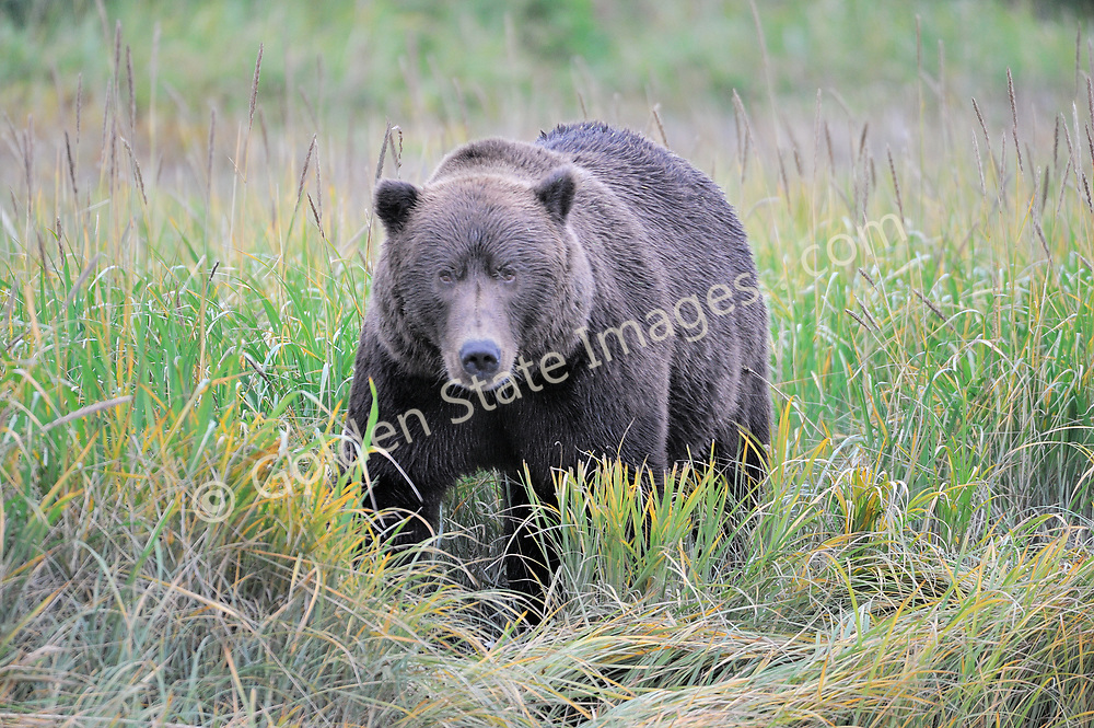In the sedge grass along the creek. <br /> <br /> Brown Bears and Grizzly Bears are the same species. In general Bears living within 50 miles of the coast are considered browns. Animals living further inland are considered Grizzlies.  <br /> <br /> Grizzlies are omnivores feeding on a variety of plants berries roots and grasses in addition to fish insects and small mammals. Salmon are a key part of their diet. Normally a solitary animal they will congregate along streams and rivers during Salmon runs. Weight to over 1200 pounds.    <br />  <br /> Range: Native to Asia Africa Europe and North America. Now extinct in much of their original range.    <br />   <br /> Species: Ursus arctos