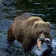 Alaskan Brown Bear, (Ursus middendorffi) Adult hauls out salmon from river. Alaska Peninsula.