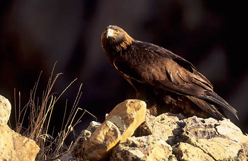 Golden Eagle (Aquila chrysaetos).  Captive Animal.