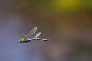Emperor dragonfly (Anax imperator) on Godlingston Heath in the Isle of Purbeck, UK.