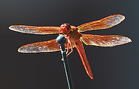Orange Dragonfly on a Car Antenna. Image taken with a Nikon D300 and 80-400 mm VR lens (ISO 640, 400 mm, f/8, 1/250 sec).