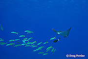 school of yellowfin goatfish, Mulloidichthys vanicolensis,<br /> and spotted eagle ray, Aetobatus narinari, being cleaned by bicolor cleaner wrasse, Labroides bicolor, at Ice Cream bommie, Saipan, Commonwealth of Northern Mariana Islands, Micronesia ( Western Pacific Ocean )