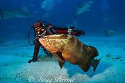 diverand Nassau grouper,<br /> Epinephelus striatus, at Shark Rodeo, <br /> Walker's Cay, Abaco Islands, Bahamas,<br /> ( Western Atlantic Ocean ) MR 250