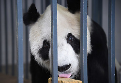 DUJIANGYAN, Dec. 21, 2016  Photo taken on Dec. 21, 2016 shows world's oldest giant panda ''Pan Pan'' at the Dujiangyan Base of China Conservation and Research Center for the Giant Panda in southwest China's Sichuan Province. There are eight giant pandas above 20 living at the Dujiangyan base. The Dujiangyan base, which undertakes the work of disease control and prevention for pandas, also acts as a nursing home for aged pandas.  lfj) (Credit Image: © Xue Yubin/Xinhua via ZUMA Wire)