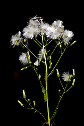 10 Oct 2011: A thistle plants blooms dry and open to scatter seeds. Rural Indiana, specifically in or close to Brown County.