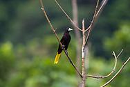 Crested oropendola (Psarocolius decumanus) perched. Trinidad