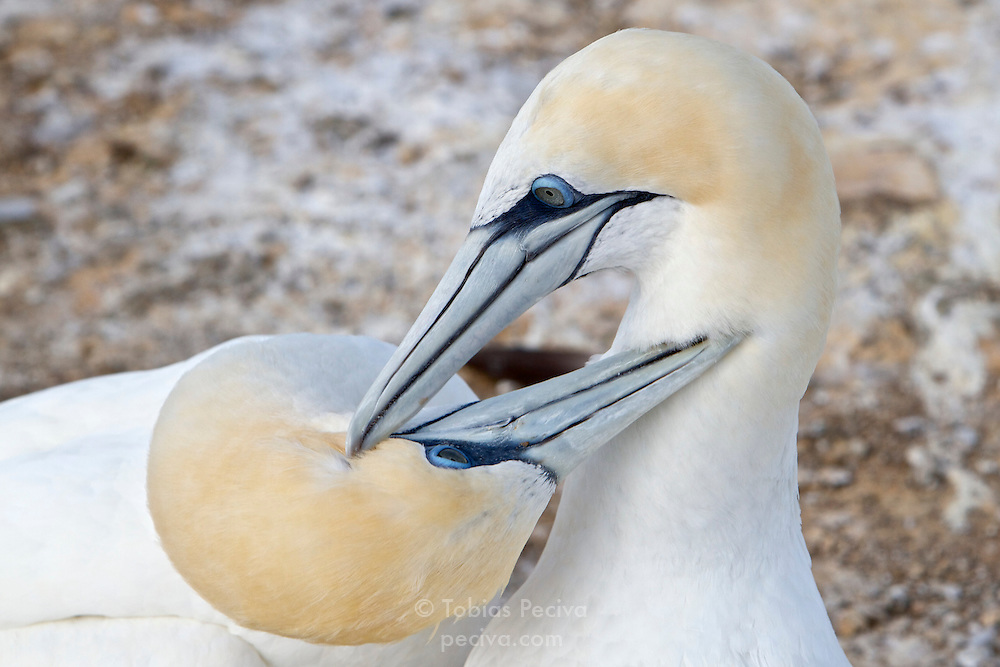 Two Australasian gannets grooming each other in a nest at the Cape Kidnappers gannet colony in Hawke's Bay, New Zealand.