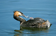 Great Crested Grebe Podiceps cristatus L 46-51cm. Graceful waterbird with slender neck and dagger-like bill. White wing panels revealed in flight. Dives frequently. Sexes are similar. Adult in summer has grey-brown upperparts and mainly whitish underparts; head has black cap and crest, and orange-buff ruff bordering paler cheeks. Bill is pink and eye is red. In winter, has drab grey-brown and white plumage. Juvenile recalls winter adult but has dark stripes on cheeks. Voice Utters wails and croaks in breeding season. Status Locally common breeding species on lakes and reservoirs. Widespread in winter, when also found in inshore seas.
