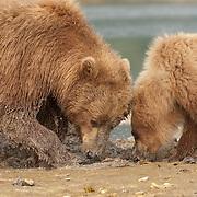 Alaskan Brown Bear (Ursus middendorffi) mother and cub digging for clams. Katmai National Park, Alaska