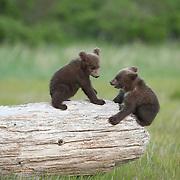 Alaskan Brown Bear cubs playing on a log. Katmai National Park, Alaska