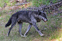 We saw this beautiful black Timber Wolf out for a walk on the side of the road to Sunshine.  We were on our way to go hiking at Sunshine Meadows and obviously had to stop to appreciate this fellow.