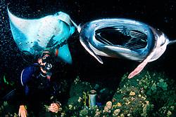 scuba diver and reef manta rays, Mobula alfredi, feeding at night, Kona, Big Island, Hawaii, Pacific Ocean