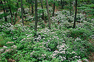 Mountain Laurel, Harriman State Park, located in Rockland and Orange counties, New York