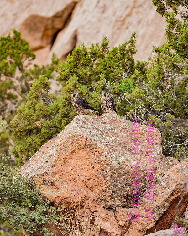Just fledged juvenile peregrine falcons perched on a boulder on the talus slope at the base of their eyrie cliff. Newly fledged peregrines are somewhat sedentary for a few days until they gain strength and confidence in their wings. They do gather together with thieir nest mates. New Mexico, © David A. Ponton