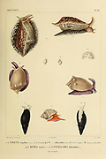 Mollusks from the book 'Voyage dans l'Amérique Méridionale' [Journey to South America: (Brazil, the eastern republic of Uruguay, the Argentine Republic, Patagonia, the republic of Chile, the republic of Bolivia, the republic of Peru), executed during the years 1826 - 1833] Volume 5 Part 3 By: Orbigny, Alcide Dessalines d', d'Orbigny, 1802-1857; Montagne, Jean François Camille, 1784-1866; Martius, Karl Friedrich Philipp von, 1794-1868 Published Paris :Chez Pitois-Levrault. Publishes in Paris in 1843