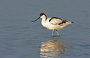 pied avocet (Recurvirostra avosetta) in the water. Photographed in Israel in January