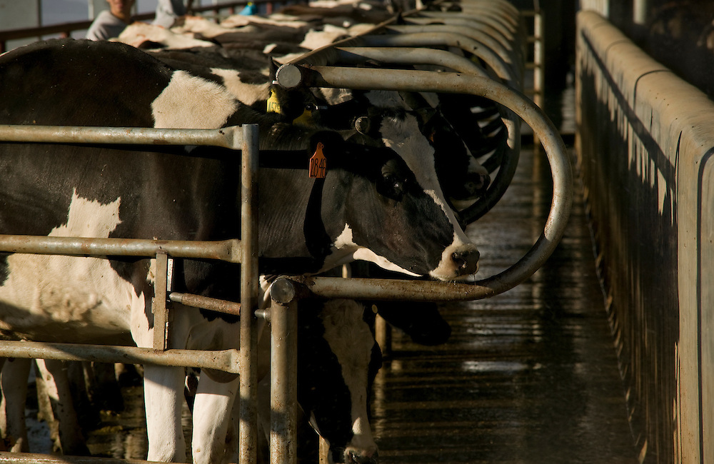 cows milking