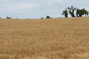 barley, crop, harvest, arable, farming, field, malting, ripe,