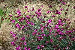 Dianthus cruentus - Blood pink
