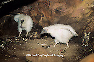 00780-00215 Turkey vulture (Cathartes aura) nestlings in cave nest   IL