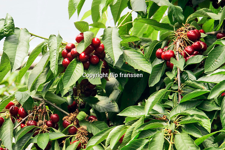 Nederland, Winssen, 2-7-2019In een boomgaard, kersenboomgaard, worden kersen verkocht. De bomen met de rijpe vruchten zijn helemaal ingepakt in luchtdoorlatend zeildoek om te voorkomen dat vogels de boomgaard leegeten .Foto: Flip Franssen