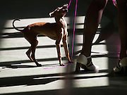 Dog during a dog show and exhibition in Lysa nad Labem, Czech Republic.