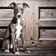 A studio portrait of a puppy dog, shot against a wooden textured background.