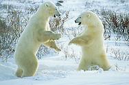 01874-06606 Polar Bears (Ursus maritimus) sparring  Churchill MB