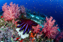 A Crown Of Thorns Sea Star, Acanthaster planci, ignores nearby soft corals while devouring hard coral, evidenced by lifeless white skeletons left behind. Barren Island, Andaman Islands, India, Andaman Sea