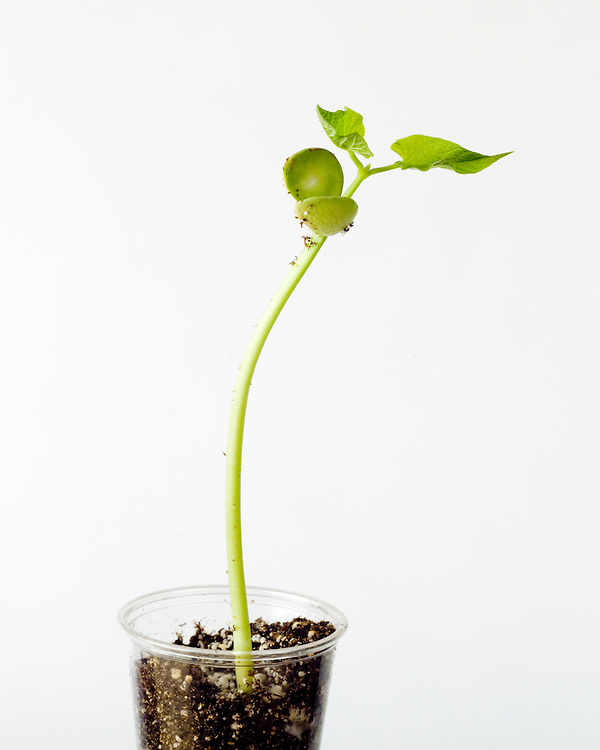 Vegetative reproduction, healthy seed growth series