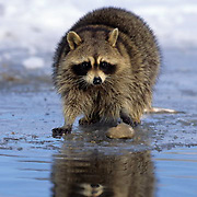 Raccoon, (Procyon lotor) At rivers edge. Captive Animal.