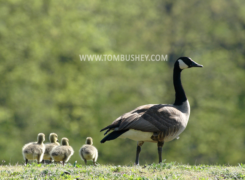 Middletown, New York - An adult Canada goose and goslings at Fancher-Davidge Park on April 30, 2010.