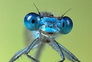 Common Blue Damselfly, Enallaatma cyathigerum, male close up showing compound eyes and jaw, UK, macro, face, portrait,