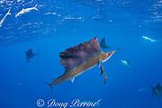 Atlantic sailfish, Istiophorus albicans, lit up in colors indicating high excitement, hunting sardines, off Yucatan Peninsula, Mexico ( Caribbean Sea )