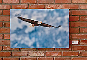 """Eagle Soars"" photograph by Randall K. Roberts on display at 730 South restaurant in Denver."
