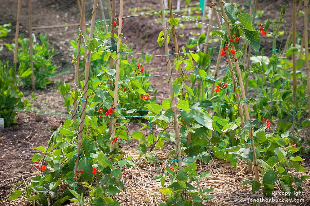 Runner beans in flower growing up cane wigwam support with straw mulch. Phaseolus coccineus