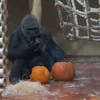 Western gorilla (Gorilla gorilla) is seen with Halloween pumpkin zoo keepers feed them as a Halloween treat in Zoo Budapest and Botanical Garden in Budapest, Hungary on October 31, 2019. ATTILA VOLGYI