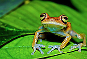 Amazon treefrog (Hyla albopunctulata) on leaf - Amazonia, Peru.