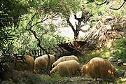 Albania, Piluri herd of sheep