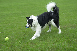 Eddie Sander with his Dogs Jackson and Inka<br /><br />18 June 2004<br /><br />Copyright Paul David Drabble<br /> [#Beginning of Shooting Data Section]<br />Nikon D1 <br /> Focal Length: 50mm<br /> Optimize Image: <br /> Color Mode: <br /> Noise Reduction: <br /> 2004/06/18 09:54:42.2<br /> Exposure Mode: Manual<br /> White Balance: Auto<br /> Tone Comp: Normal<br /> JPEG (8-bit) Fine<br /> Metering Mode: Center-Weighted<br /> AF Mode: AF-C<br /> Hue Adjustment: <br /> Image Size:  2000 x 1312<br /> 1/400 sec - F/4<br /> Flash Sync Mode: Not Attached<br /> Saturation: <br /> Color<br /> Exposure Comp.: 0 EV<br /> Sharpening: Normal<br /> Lens: 50mm F/1.8<br /> Sensitivity: ISO 200<br /> Image Comment: <br /> [#End of Shooting Data Section]