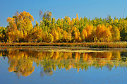 Autumn reflection in aspen forest<br /> Elk Island National Park<br /> Alberta<br /> Canada