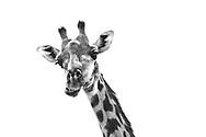 Maasai Giraffe chomps at the bits.