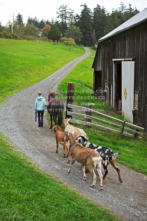 Image of a girl farmer leading her horse and goats to the barn at the end of the day, San Juan Island, model and property released by Randy Wells